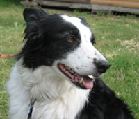 Archie, my Border Collie