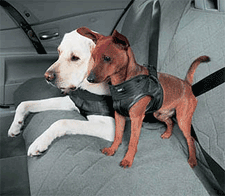 Dogs riding in cars should be secured in the car for safety.